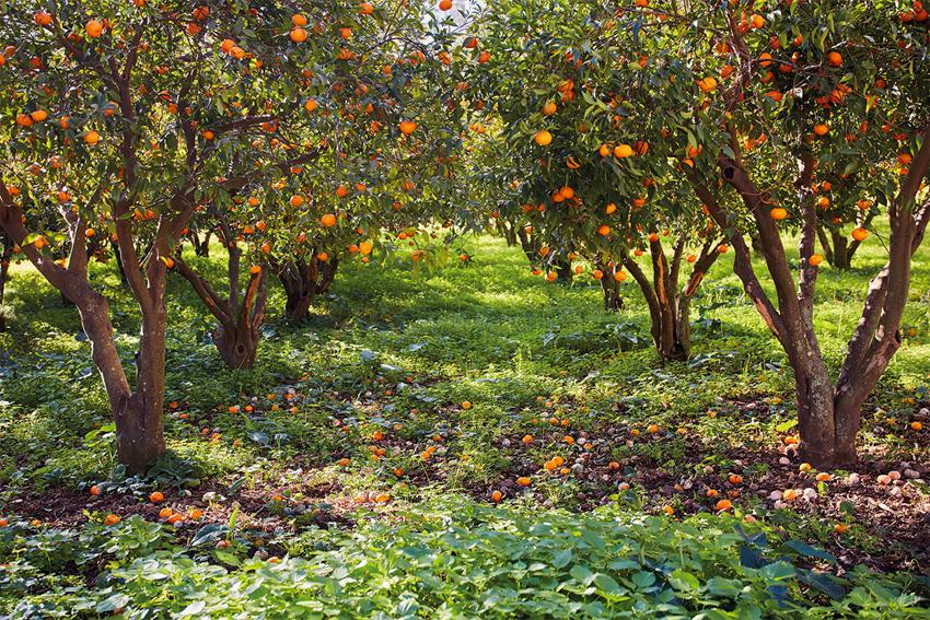 3750 m2 mandalina bahçesi mahkemeden satılık